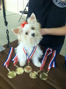 Des'Tiny 2012 IABCA DOG Show obtained her International and National Champion Babyklasse Tittle