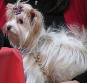 Fa-Denia (Gigi) at the 2014 Golden State Winter Sieger. She obtained her International and National Puppy Tittles